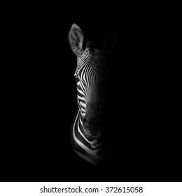 Dark monochrome portrait of a Cape Mountain Zebra