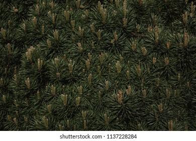Dark Moody Green Pine Leaf Background
