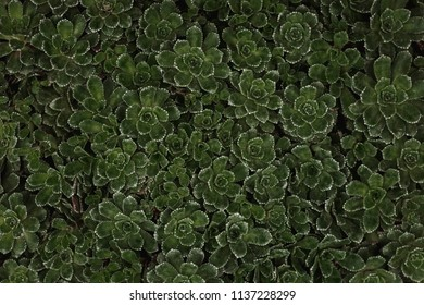 Dark Moody Green Small Succulents in a Bunch