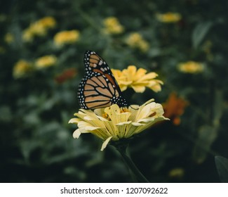 Dark and moody photo of a Monarch butterfly resting on a yellow flower.