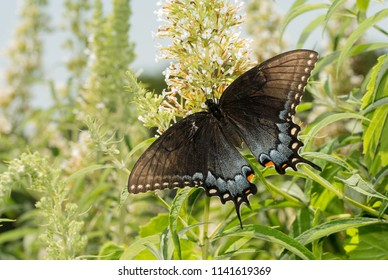 Dark morph of female Eastern Tiger Swallowtail butterfly feeding on a white Buddleia in a sunny summer garden