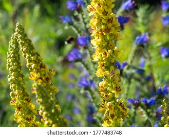 Dark mullein, Verbascum, majestic plant with golden-yellow flowers and purple stamens blooming in a sunny garden, closeup with selective focus