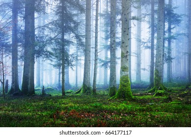 Dark and mysterious pine forest in mist with a green carpet of moss, French Alsace, Vosges mountains