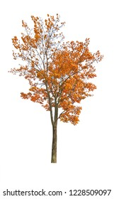 dark orange autumn maple tree isoalted on white background