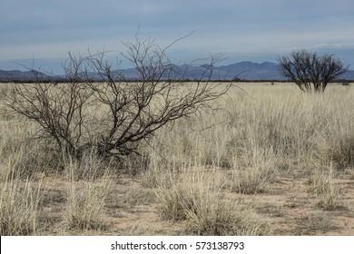 Dark outline of wild leafless tree in grassy dry landscape/Silhouette of Bare Desert Tree in Winter Dry Grasses/Wild bare tree  in desert grasses