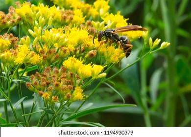 Dark Paper Wasp collecting nectar from a yellow Goldenrod flower. Alson known as a Golden or Northern Paper wasp. Todmorden Mills Park, Toronto, Ontario, Canada.