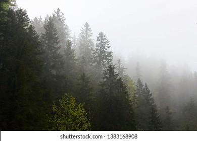 Dark pine forest in Bärenschütz Gorge, Mixnitz, Austria