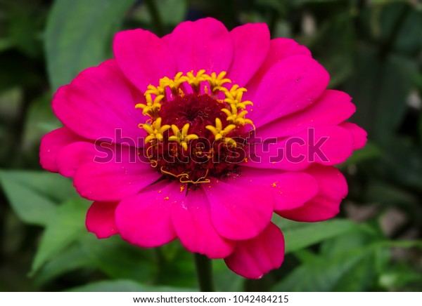 a dark pink flower full with pollen