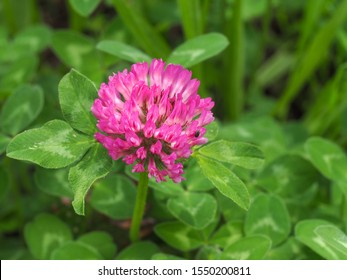 Dark pink flower. Red clover or Trifolium pratense inflorescence, close up. Purple meadow trefoil blossom with alternate, three leaflet leaves. Wild clover, flowering plant in the bean family Fabaceae