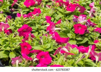 Dark pink flowers