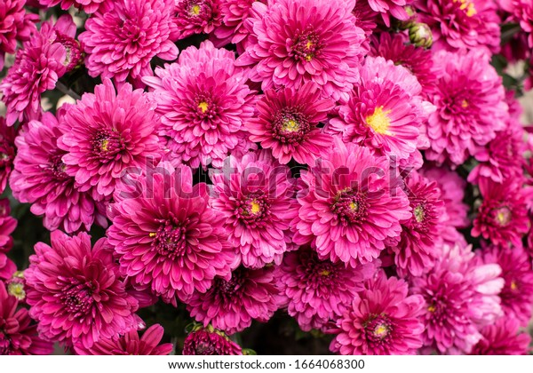 Dark pink multiflora chrysanthemum - solid floral background
