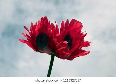 Dark pink Opium Poppy (Papaver somniferum) flower, against a cloudy blue sky