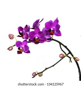 dark pink orchid flowers isolated on white background