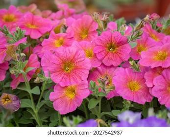 Cultivos de Petunia rosada oscura. Una temprana petunia florida, montada y a la deriva ideal para la jardinería de contenedores y su uso en tierra.