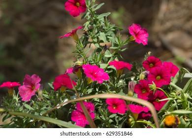 Dark pink Petunias in the sun.