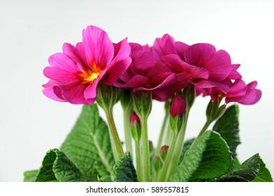 Dark pink primrose (primula acaulis)