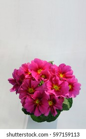 Dark pink primula acaulis in a pot, view from above