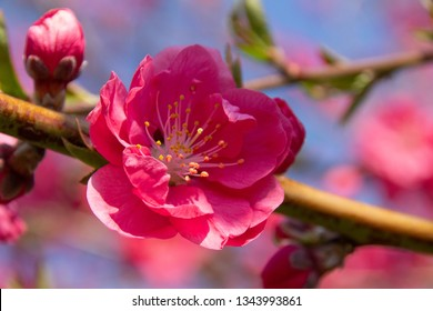 Dark pink Prunus persica flower