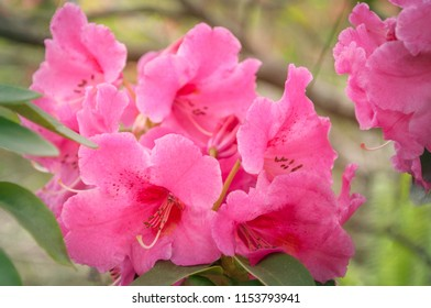Dark Pink Rhododendron Flowers on a blurred background with shallow depth of field - Rhododendron Garden in Blackheath, New South Wales, Australia.