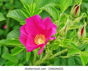 Dark pink Rosa gallica wild rose flowering shrub also called Gallic rose, French rose or rose of Provins