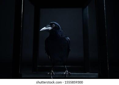 Dark portrait of a raven bird (black crow) on black background.