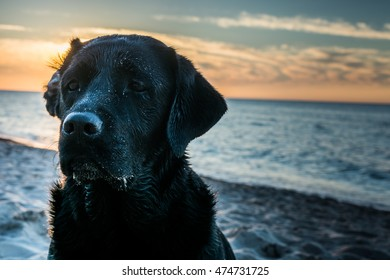 Dark portrait of a wet dog Labrador Retriever with a folded ear sitting on the beach while sunset, seaside in Poland, summertime, orange and blue sky with white clouds