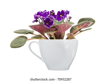 dark purple african violet with white petal edges growing in a large white coffee cup; isolated on white;