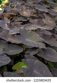 The dark purple, almost black, heart-shaped leaves of the Colocasia esculenta Black Magic plant. Captured at the Andean mountains of southern Colombia.