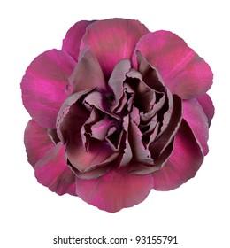 Dark Purple Carnation Flower Isolated on White Background.