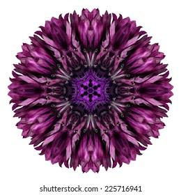 Dark Purple Cornflower Mandala Flower. Kaleidoscope of Centaurea cyanus Isolated on White Background. Beautiful Natural Mirrored pattern