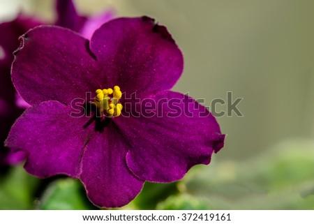 Dark Purple Flower Violet Yellow Stamens Stock Photo Edit Now