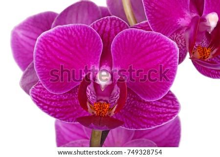 Dark Purple Flowers Hybrid Phalaenopsis Orchid Stock Photo Edit Now