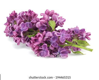 Dark purple lilac flowers (Syringa vulgaris) on white background