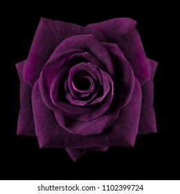 Dark purple roses background, Purple rose isolated on black background, Greeting card with a luxury roses, Image dark tone