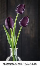 Dark purple tulips on a black background