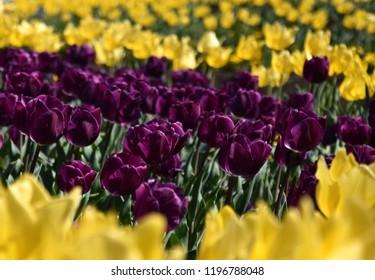 dark purple tulips images stock photos vectors shutterstock