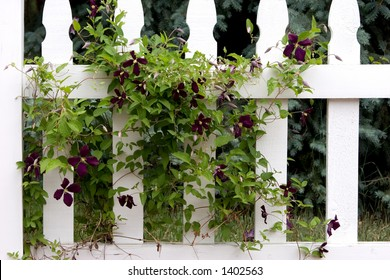 A dark purple weaving and winding Clematis vine through a white picket fence brings back memories of older and simpler country style living.