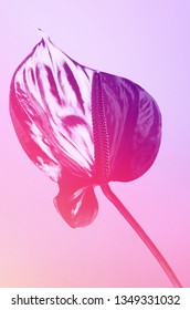 Dark red anthurium. Tropical plant in a minimalist style Flower in vibrant gradient holographic ultraviolet colors. Concept pop art. Natural trendy background