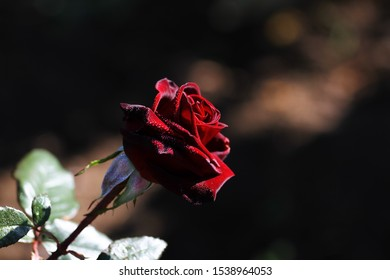 Dark red beautiful rose with morning dew, passion flower, one burgundy rose, dew drops