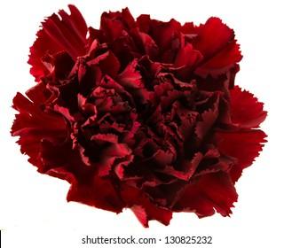 dark red carnation on a white background