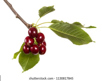 dark red cherry on a branch with green leaves. isolated on white background