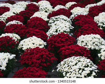 Dark red chrysanthemum flowers in pots for sale at the market