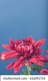 Dark Red Chrysanthemum on Blue Background