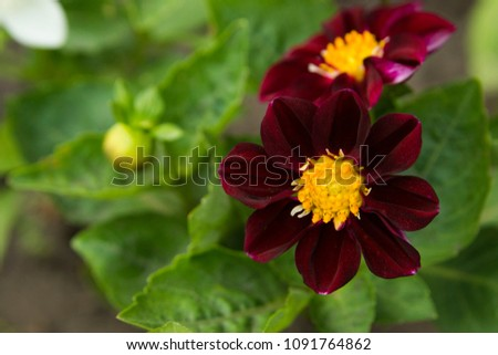 Dark red flower yellow center seven stock photo edit now dark red flower with yellow center with seven petals mightylinksfo