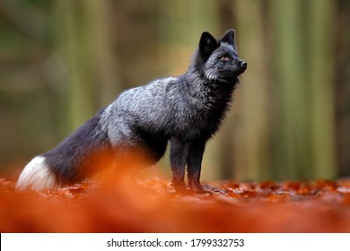 Dark red fox playing in autumn forest. Wildlife scene from wild nature. Funny image from Russia. Cute mammal with black and white tail. Black silver fox, rare form.