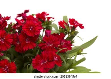 Dark red garden garden carnation flowers isolated on white background
