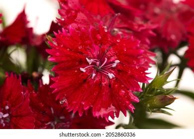 Dark red garden garden carnation flowers macro floral background