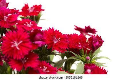 Dark red garden garden carnation flowers macro