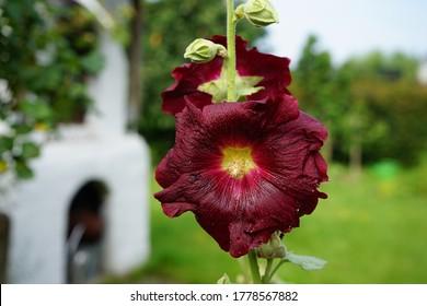 a dark red hollyhock in the garden only the hollyhock head