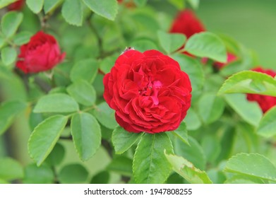 Dark red Hybrid Multiflora rose (Rosa) Chevy Chase blooms in a garden in June